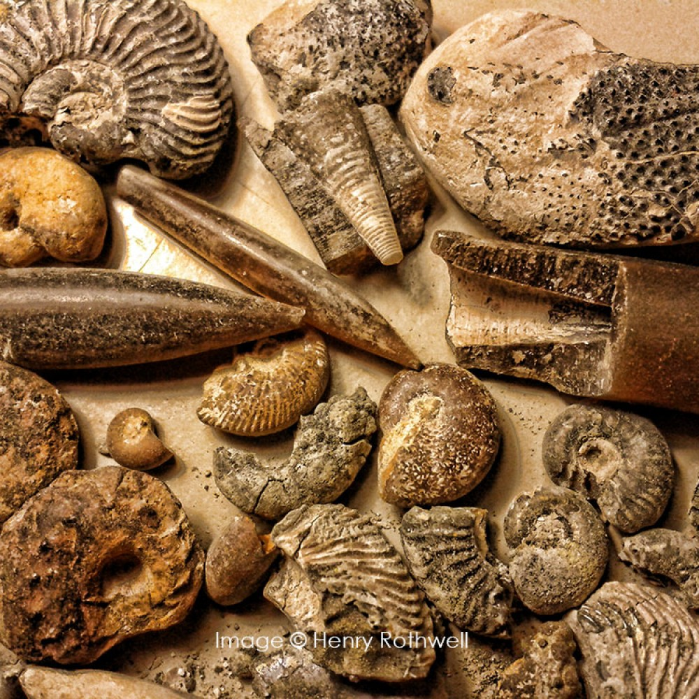 A selection of Jurassic Ammonites and Belemnites. © Henry Rothwell